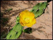 Fiore di Cactus