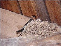 Barn Swallow nest up in the rafters of the Starkey Covered Bridge