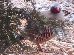 Philby's Partridge