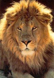 d lion