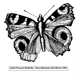 ADULT PEACOCK BUTTERFLY