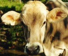 Vaca I