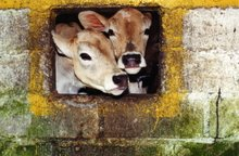 Vaca II