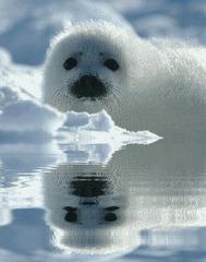 Chacina a focas...