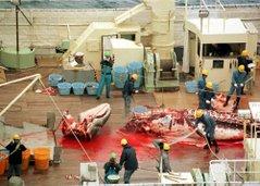 Chacina a baleias...