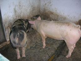 Os porcos da granxa Serantellos