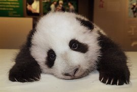 Lazy panda in the house..
