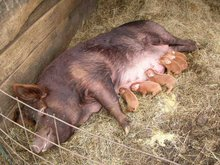 A Tamworth pig and her piglets