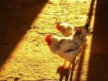 Delaware roosters in the late afternoon sun