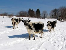 Randall cattle in the snow