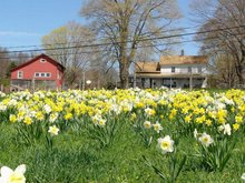 The farm at daffodil time
