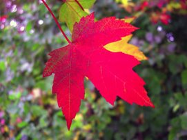 Colourful Maple Leaf
