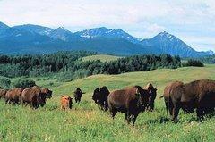 La passion des bisons d'Amerique