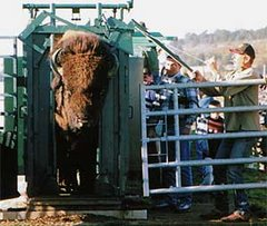 Marquage des bisons