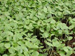 Semillas de Acrocarpus-fraxinifolius