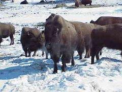 Este ganado se adapta muy bien a todas las regiones