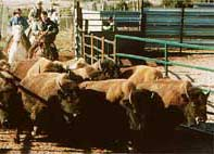 Rassembler les Bisons au Corral