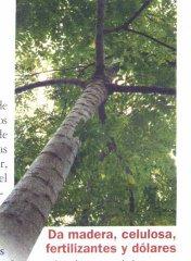 Acrocarpus-fraxinifolius