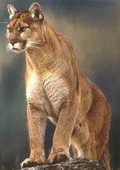 Un jeune Puma Argentin