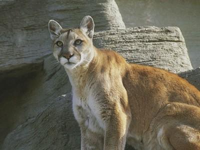 Le Puma en Argentine