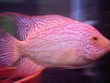 ปลาหมอสี Red Texas