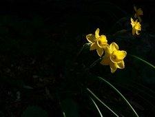 Narcisus rupicola