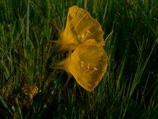 Narcisus ceernus