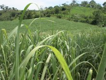 Suger Cane fields
