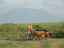 Farmer on cattle drawn cart