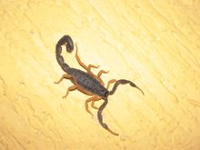 Scorpian on bedroom wall