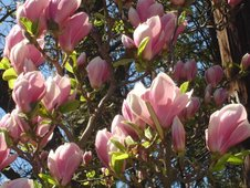 flori de magnolia