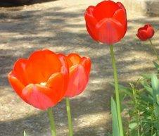 lalele roşii