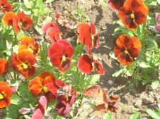 panseluţe roşii