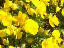panseluţe galbene