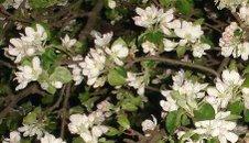 flori de măr