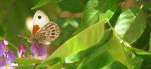 lepidopteraelquina