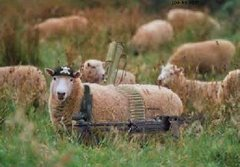 Armed Sheep