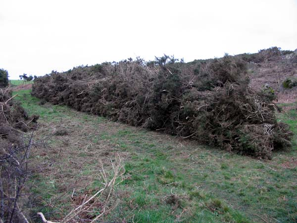 furze tied up into faggots near Coverack