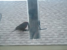 This is daddy purple finch, I have named him Ricky...