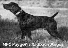 NFC Paygon's Radbach Angus