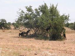 argan trees