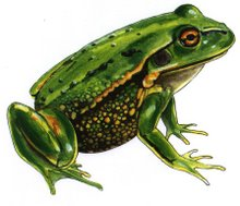 Green & Gold Frog