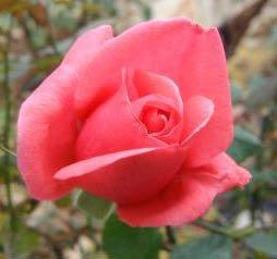 Uma flor para Katomart