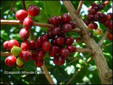 Shade-grown Coffee Beans