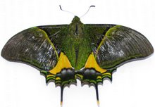 Another green butterfly