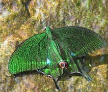 Rare Green Butterfly