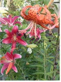 Pink Orchid &Tiger Lilies