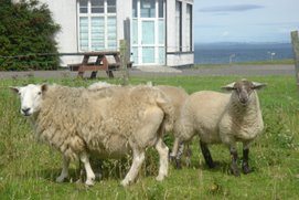 sheep @ John O'Goat, Scotland