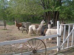LYS llamas