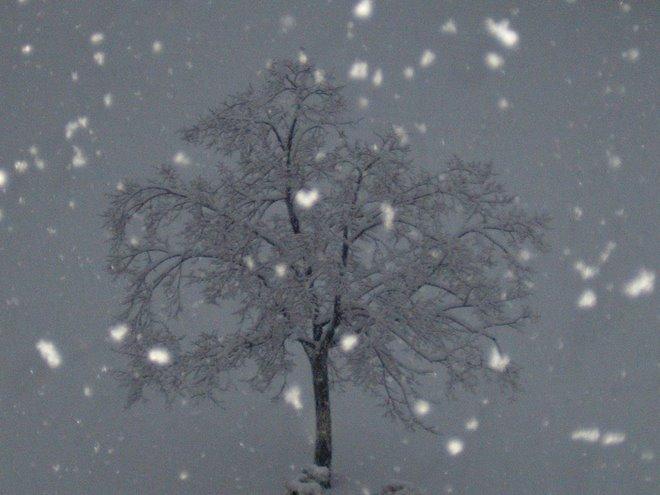 Tree in Oswego